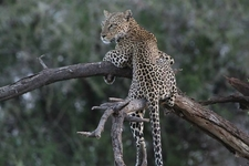 Leopard On The Dead Tree Branch In Kidepo Valley National Park