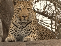 Leopard In Lake Nakuru National Park