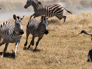 8 Days Serengeti Wildebeest Safari Photos