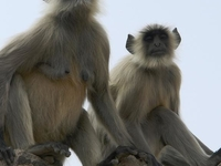 File Human Langur Monkeys Orchha