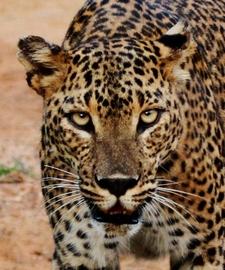 National Wildlife Leopard Safari Sri Lanka