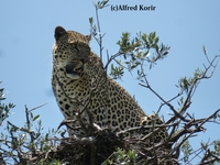 A Leopard Up On A Tree