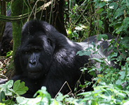 Go Gorilla Trekking on Self Drive Safari in Uganda