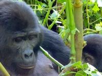 Rwanda Gorilla Expedition Safari