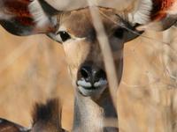 Thelander/Kudu