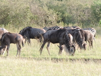 4 Days Masai Mara Wildebeest Migrations Camping Safari 2019