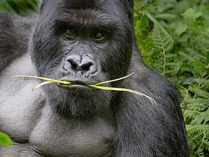 Gorilla Trekking - Rwanda Fotos