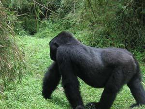 Gorilla Safari, Rwanda Tour Photos
