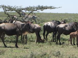 Tanzanie Migration Annuelles - Sky of Serengeti Safaris Photos