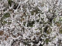 Cherry Blossom Photograpy Tour