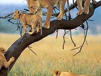 Lions On Tree