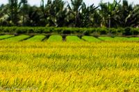 Ben Tre Rice Field