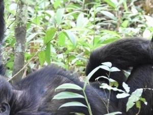Gorilla and Wildlife Experience