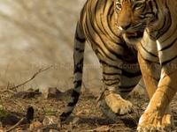 T 19 At Ranthambhore Tiger Reserve
