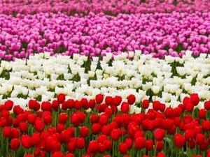 Kashmir Tour Tulip Festival
