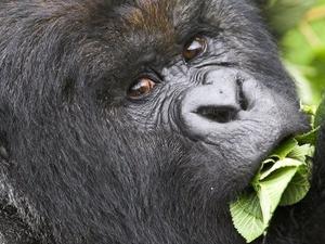 Rwanda Gorilla Trekking Photos