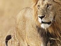 Lion  45