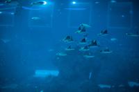 Manta At Singapore Aquarium