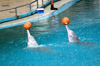 Pink Dolphins Show