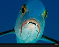 Fish Kingman Xl