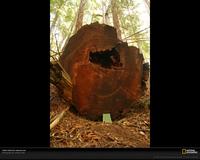 Redwood Rings 2828 Xl