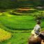 Sapa Rice Fields - Harvest Time