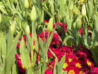 Freshly Opening Tulips