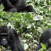3 Days Gorilla Trekking Tours
