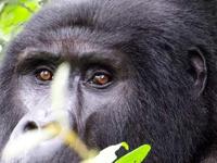 Gorilla Tour Booking Safaris Uganda Rwanda