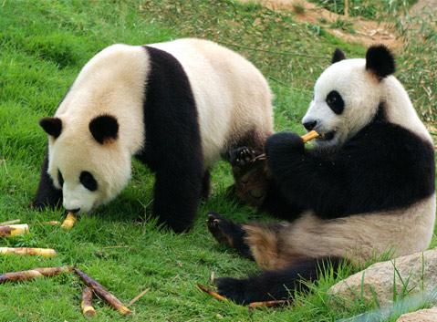 1 Day Chengdu Panda and Leshan Buddha Tour Photos