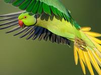 Flight Vladimir Michael Kogan Rose Ringed Parakeet Israel D3v7655