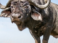 Beautiful Male Buffalo