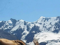 Zwitserland Berg Met Koe