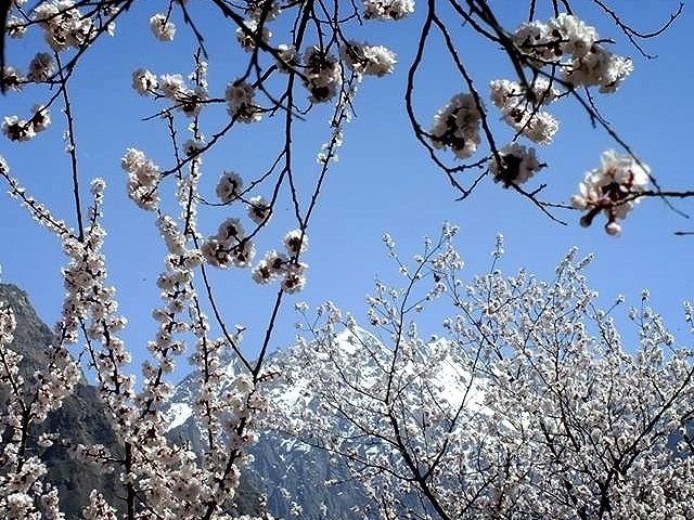 Spring Blossom Hunza Valley Photos
