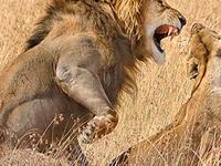 Safari Chui