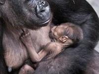 Rwanda Gorilla & Golden Monkeys