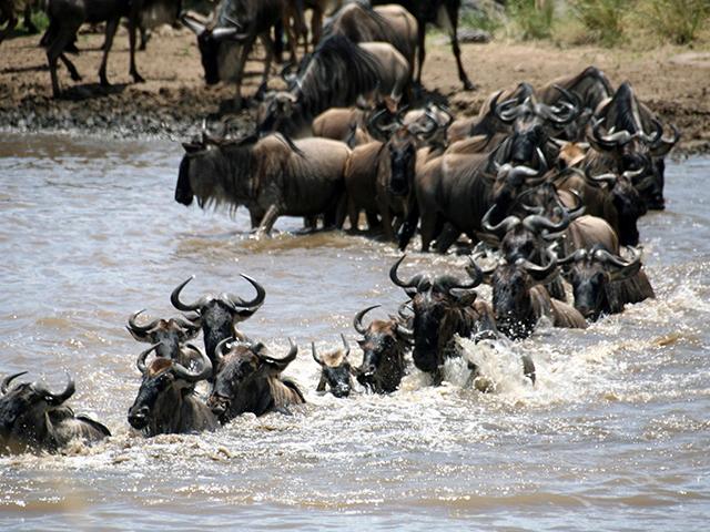 Wild Beast Migration in Masai Mara - Nakuru Photos
