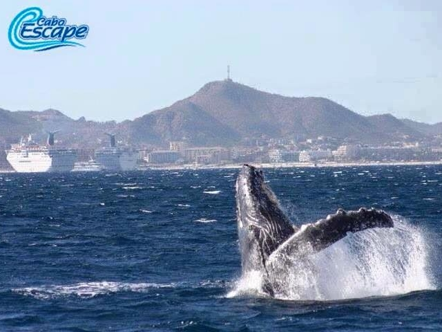 Cabo Escape Whale Watching Photos