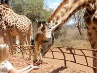 Giraffe Center Nairobi 1