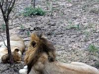 Img 8445 Mating Lions Skukuza