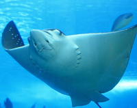 Belize Hol Chan Marine Reserve and Shark Ray Alley Snorkel Tour from Ambergris Caye  Photos