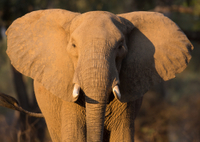 Elephant Ride in Victoria Falls National Park with Transport from Livingstone