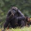 Jane Goodall Institute South Africa - Chimpanzee Eden Walking Tour