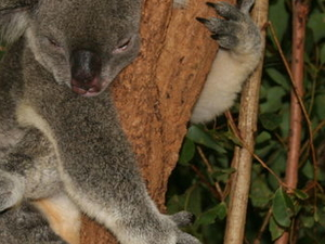 Lone Pine Koala Sanctuary Admission with Brisbane River Cruise Photos